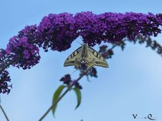 Der Schwalbenschwanz (Papilio machaon) hielt sich aber tapfer im Wind - Schwalbenschwanz