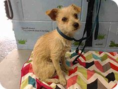 San Bernardino, CA - Terrier (Unknown Type, Small) Mix. Meet URGENT on 8/11 SAN BERNARDINO, a dog for adoption. http://www.adoptapet.com/pet/16332168-san-bernardino-california-terrier-unknown-type-small-mix