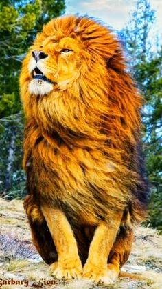 Lion 🦁 - It symbolizes my sign, it is a strong, wild but beautiful animal and why not noble . Lion Wallpaper Iphone, Lion Live Wallpaper, Animal Wallpaper, Live Wallpapers, Lion Images, Lion Pictures, Nature Pictures, Beautiful Pictures, Aigle Animal