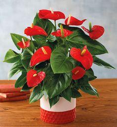"""6"""" Red Anthurium"""