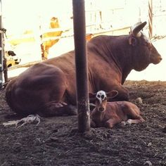 Bushwacker and baby time to teach a bucking lesson