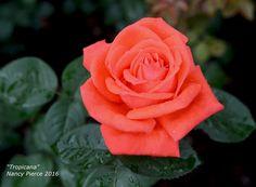 "Tropicana Rose .   (""'Tropicana' HT."")"