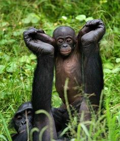 Great Ape Moment: Bonobos doing a morning stretch at the Lola ya Bonobo Sanctuary in Democratic Republic of the Congo. Photo Credit Andrey Gudkov. http://on.fb.me/103q76Y