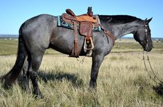 True Blue Roan Horse | ... horses for sale, horses properties, horse trailers, horse saddles and