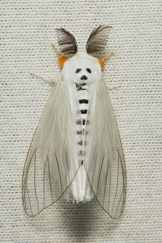 Clearwing Tussock Moth (Lymantriidae). Looks like a Dia de los Muertos party favor.