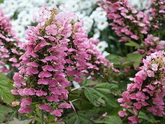 Proven Winners - Gatsby Pink® - Oakleaf hydrangea - Hydrangea quercifolia pink white white flowers quickly change to pink plant details, information and res. Garden Shrubs, Flowering Shrubs, Trees And Shrubs, Garden Planters, Container Garden, Oakleaf Hydrangea Landscape, Hydrangea Landscaping, Backyard Landscaping, Backyard Ideas