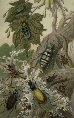 'British Beetles and Their Foreign Relatives' (Cicindela campestris, Cicindela chinensis, Otiorynchus Ligustici, Pachyrynchus gemmatus, Pachyrynchus speciosus, Pachyrynchus reticulatus, Eupholus Schonherri, Carabus Intricatus, Carabus Hispanus). From 'Curiosities of Entomology.'  Published 1871 by Groombridge and sons. Heaveninawildflower