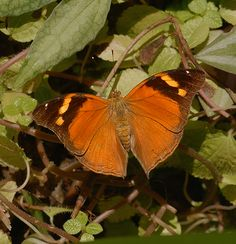Autumn Leaf Butterfly Top View. Scientific name- Doleschallia Bisaltide. Found in Southeast Asia.
