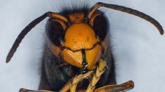 Pitcher plant in France eats bee-killing Asian hornets - BBC News