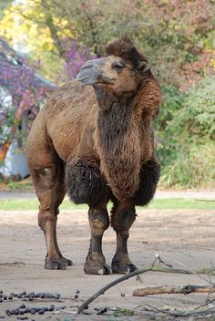 Bactrian camel* Artiodactyla * camelidae* camelus bactrianus* the two hump  camel* 6 ft. at the shoulder  7ft. at the top of the hump* 11-12 ft. long including the tail* 1,000-1,500 lb.* sexual maturity: 5 years* mating: February* gestation:  about 13 months.* # of young: 1 calf.* habit: females live in small herds  with 1 male. Others males solitary.* diet: grasses and shrubs.* lifespan: longest recorded, 50 years.* males are called stallions,  females are mares, and the young are called…