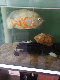 Oscar Fish, Freshwater Fish, Fresh Water, Animals, Pisces, Animales, Animaux, Animais, Animal