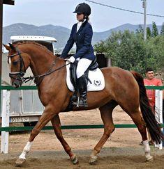 Yegua KWPN Equestrian, Horses, Animals, Horses For Sale, Animales, Animaux, Horseback Riding, Animal, Animais