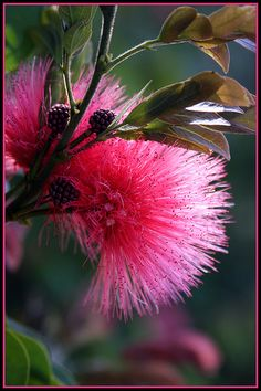 Mimosa Flowers... Just beautiful, but when I wanted to plant one here in…