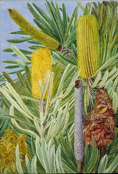 A West Australian Banksia Location: Australia, West Australia Plants: Banksia… Australian Wildflowers, Australian Native Flowers, Australian Plants, Australian Art, Botanical Drawings, Botanical Art, West Australia, Marianne North, Tasmania