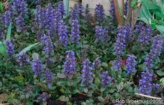 """Ajuga (""""Bugleweed"""") is a nice ground cover with pretty purple blooms"""