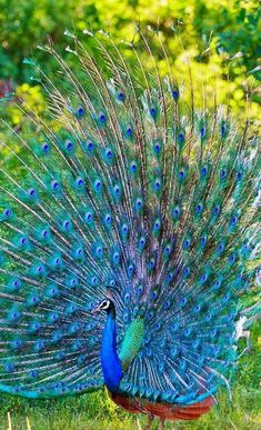 Animals Discover flying of birds Source :flying of birds Peacock Painting Peacock Images Pe Pretty Birds Beautiful Birds Animals Beautiful Cute Animals Peacock Images Peacock Pictures Picture Of A Peacock Exotic Birds Colorful Birds Peacock Images, Peacock Pictures, Picture Of A Peacock, Pretty Birds, Beautiful Birds, Animals Beautiful, Exotic Birds, Colorful Birds, Vogel Gif