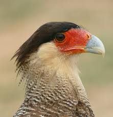 crested caracara - Google Search
