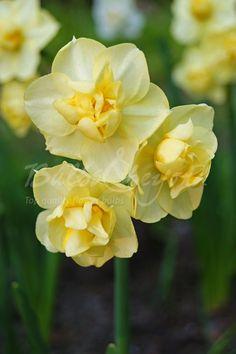 Daffodil - Yellow Cheerfulness