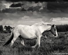 New Forest Pony#horses. The #ponies of the New Forest are exceptionally hardy.