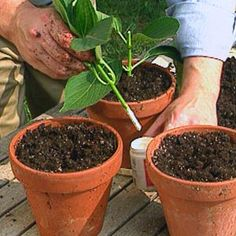 P. Allen Smith Garden Home - How to propagate your hydrangea. Who knew it was sooo easy! Think I'll being doing this!
