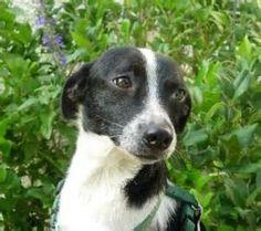 rat terrier - Looks EXACTLY like my Jake!!!