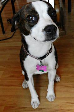 """My beautiful Boglen Terrier, Molly!  Boston Terrier / Beagle mix."" She looks just like my Lexi!"