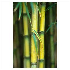 Chusquea culeou - Bamboo
