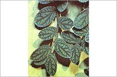 Begonia, Trailing | ASPCA