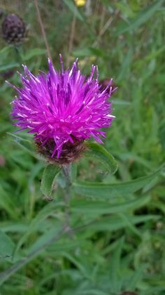 Close up of Knapweed, a fantastic plant for attracting bees and butterflies. Taken in Dalbeattie Woods, Dumfries and Galloway. July 2014. B.