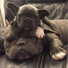 Boubou tout chou, French Bulldog Dad and his Baby Daughter