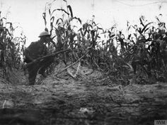 WW1, Macedonia.  British trooper of the 1/1st Lothian and Border horse amidst a crop of maize close to the River Struma, c 1917. © IWM ( Q 99424)