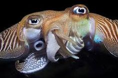 Image result for cuttlefish mating