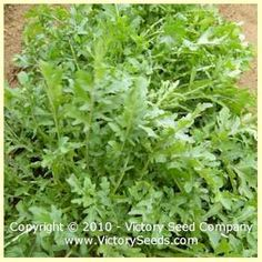 Arugula - Eruca sativa - Herb Seeds from Victory Seeds®