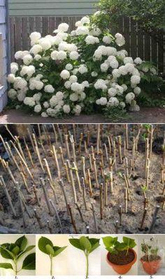 Выращивание и размножение гортензии..