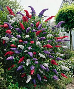 Buddleia (Butterfly Bush) - Mixed - Shrub Buddleja davidii - These fragrant butterfly bushes in 3 fabulous colours will attract plenty of butterflies to the garden. The varieties: Royal Red, White Profusion and Empire Blue.