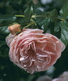 'Heritage' ranks among David Austin's personal favorites. Its sweet scent and form are reminiscent of Old Garden Roses.