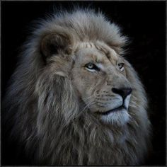"Global Gallery 'Proud Lion' by Louise Wolbers Framed Photographic Print Size: 18"" H x 18"" W x 1.5"" D"