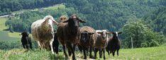 Emanuel Wimhofer: Bio-Lammfleisch Ab Hof Goats, Animals, Animales, Animaux, Goat, Animal, Animais