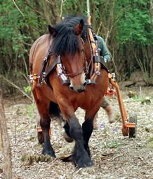 Ardennes heavy horse logging