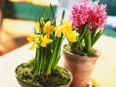 Living flowers are a great way to bring color into your home. Forced daffodils and hyacinths will flower in the dead of winter, and are very easy to grow from prepared bulbs. Find out  how to force bulbs here .