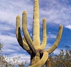 Deserts are the driest places on Earth. Cacti can live here because their stems have a thick coating that helps them store water longer than most plants. Other plants, such as mesquite trees, survive because they have roots up to 80 feet long, which take in water from deep underground. Pictured is a giant saguaro cactus.   Plants Around the World   Kids Discover