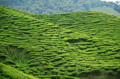Most People Don't Know These Mind-Blowing Things About Tea: A tea plantation in the Cameron Highlands, Malaysia