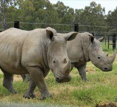 the future White Rhino Population
