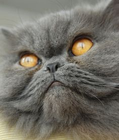 25 Cats With Smushed Faces