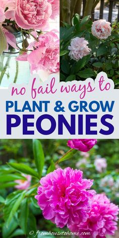 Peonies are one of the most beautiful spring perennials for your garden. Learn how to plant, fertilize and divide peonies with this amazing guide to growing these gorgeous flowers.   Full Sun Plants Spring Perennials, Full Sun Perennials, Full Sun Plants, Peony Bush, Gardening For Beginners, Gardening Tips, Peony Plant, Growing Peonies