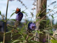 sommerfuglbusk budleia davidi // moseplassen