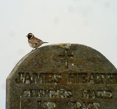 Lapland Longspurs are the most visible passerines throughout the season. Their musical songs fill the spring and summer air. This Longspur is pictured perched on the gravestone (of James Heath, a Gunner's Mate on the USS Concord in the late 1800s) that any visitor to St. Paul will recognize as the crown of Hutchinson Hill, possibly the most productive vagrant trap on the island. Digiscoped with a Leica D-Lux 5 through an APO Televid 65 scope.  - Doug…