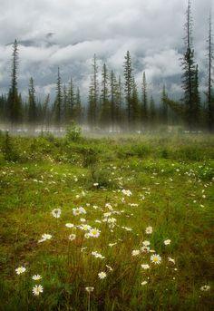 wildflowers, misty mountain meadow in the Canadian Rockies