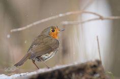 Robin by RobertAdamec