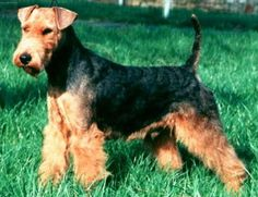 *** Welsh Terrier 20-21 lbs may become destructive and dig if left alone for too long. Can be trained with patience and persistence. Some may be difficult to house train.